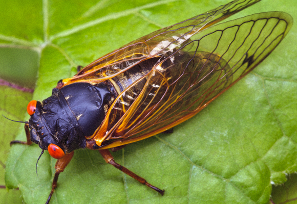 The 17-year cicada. | Photo: Shutterstock